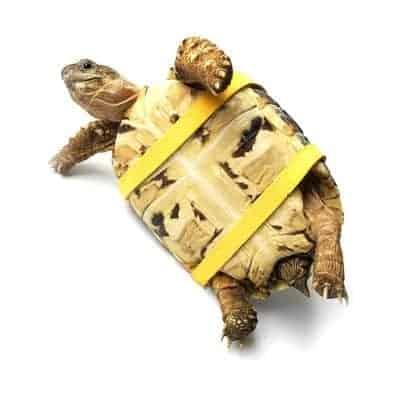 tortue sur le dos avec sa laisse