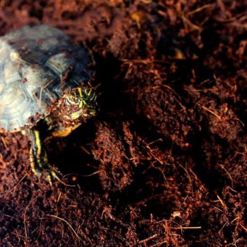 tortue presque recouverte de fibre de noix de coco