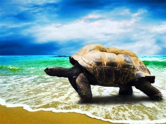 photo de tortue de terre sur la plage