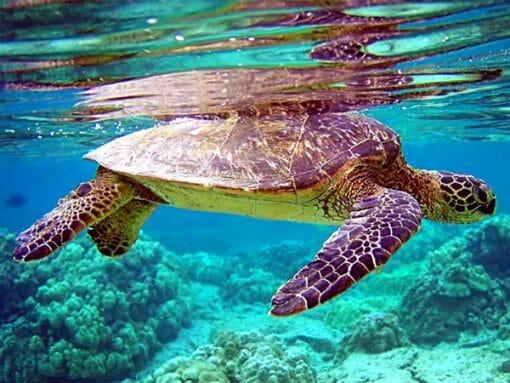 tortue de mer à la surface de l'eau