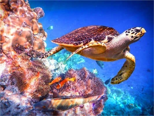 tortue près des coraux