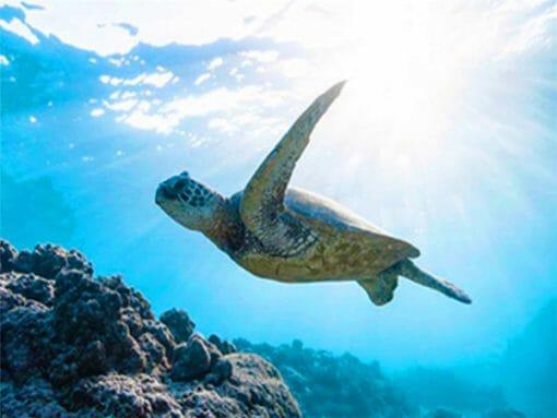 tortue de mer qui nage