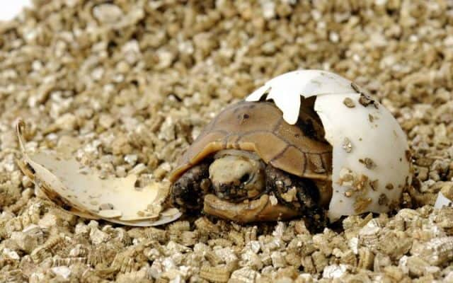 naissance tortue oeuf coquille