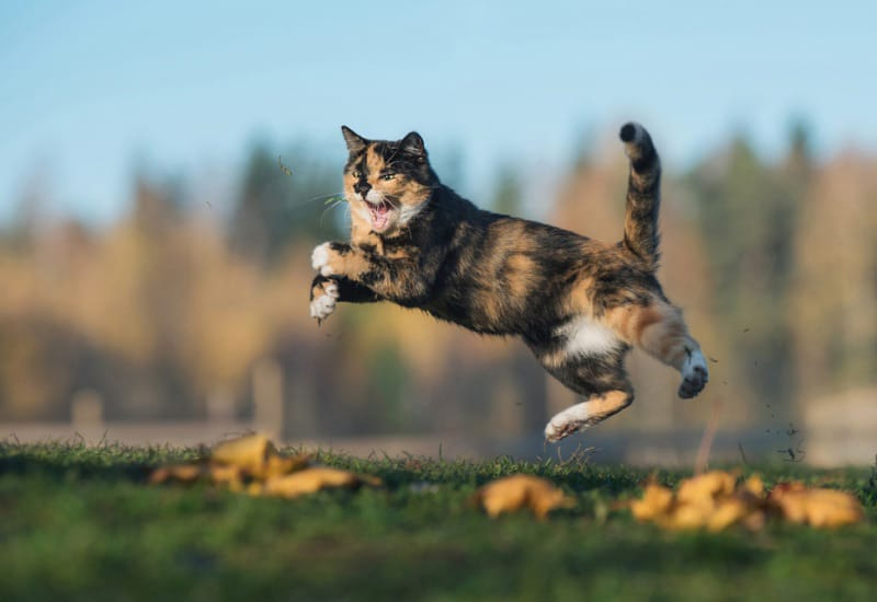 chat sauvage en chasse