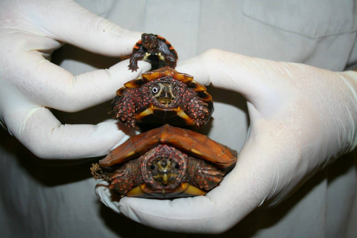 trois tortues marines